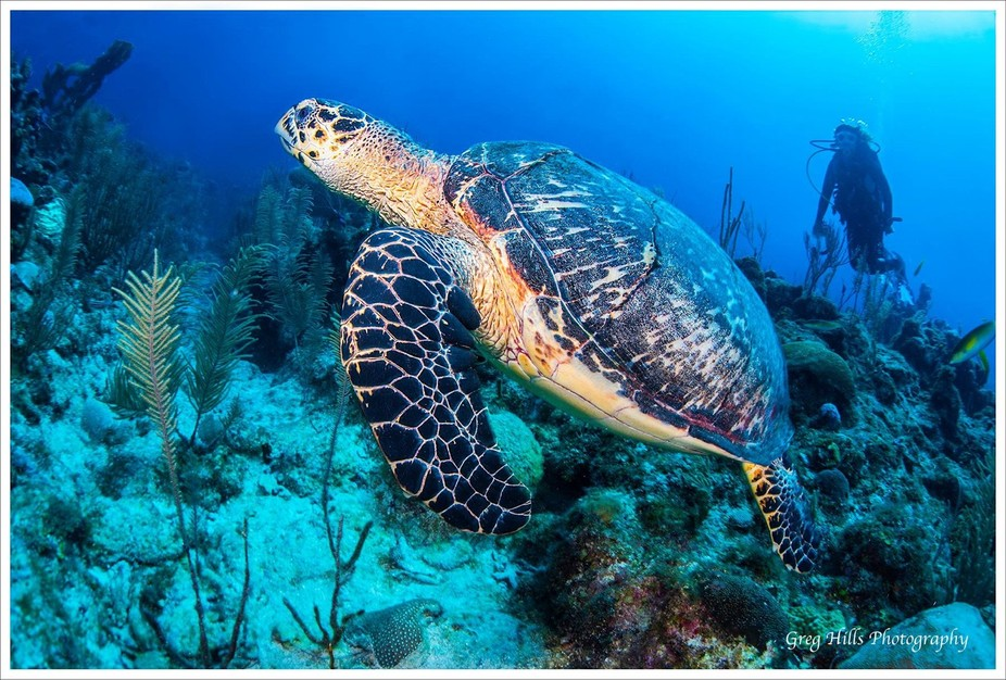 Turtle surfaces for air in Ambergris Caye. Belize.