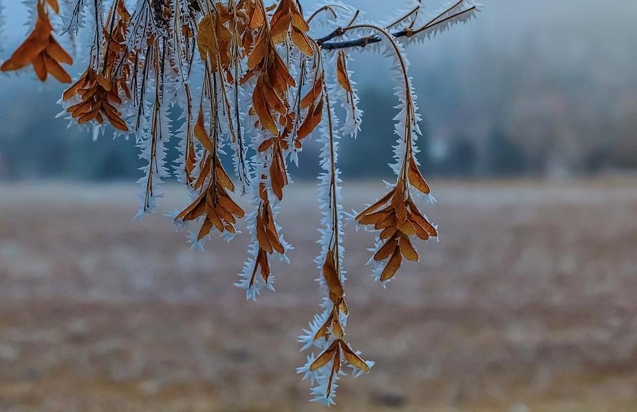 Hoar Frost Leaves