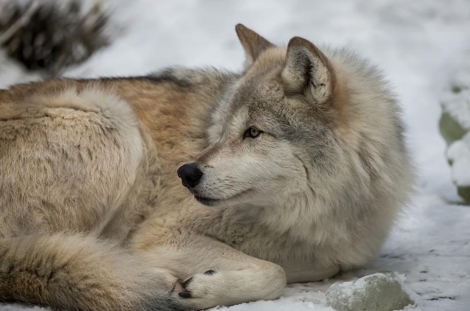 Solo Lobo