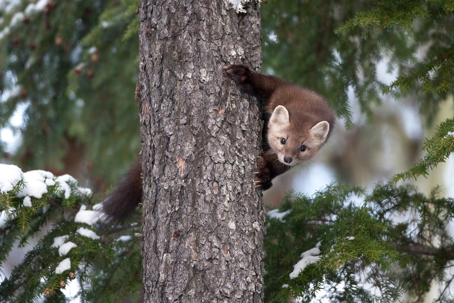 A curious pine marten peering at me from behind a tree in Northwest BC, Canada.
