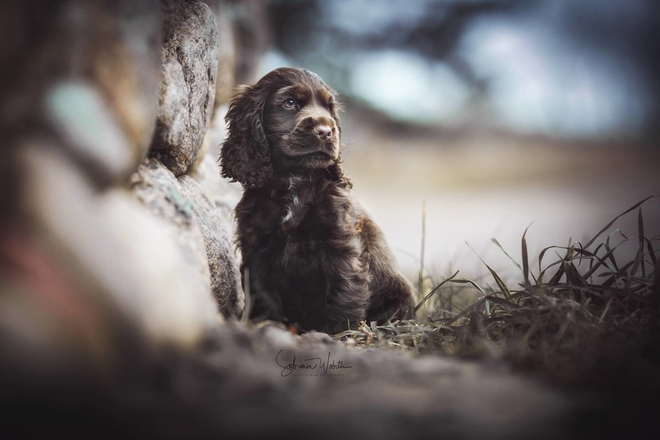 9 weeks old english cocker spaniel puppy named Nougat in the nature