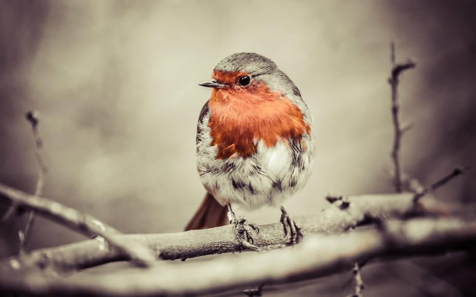 My favourite bird, the Robin