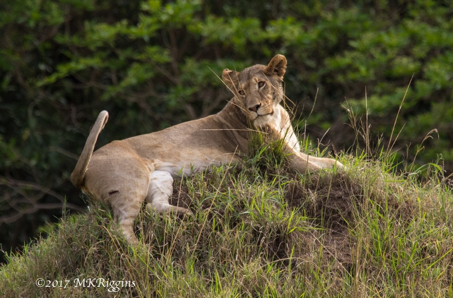 Lioness strikes a pose as she rest atop a mound.