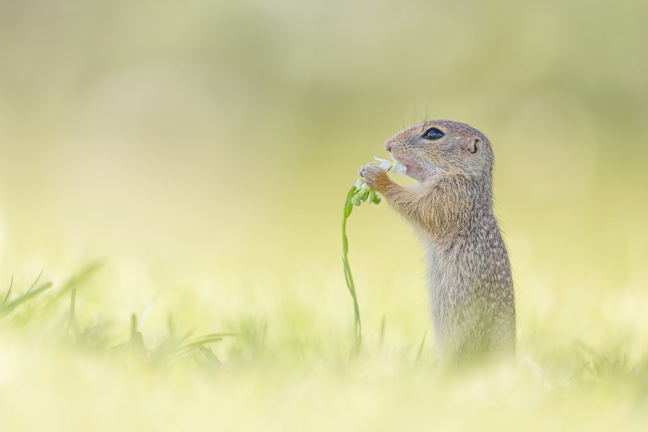A wild European ground squirrel baby [Spermophilus] getting a flower for breakfast. More on https...