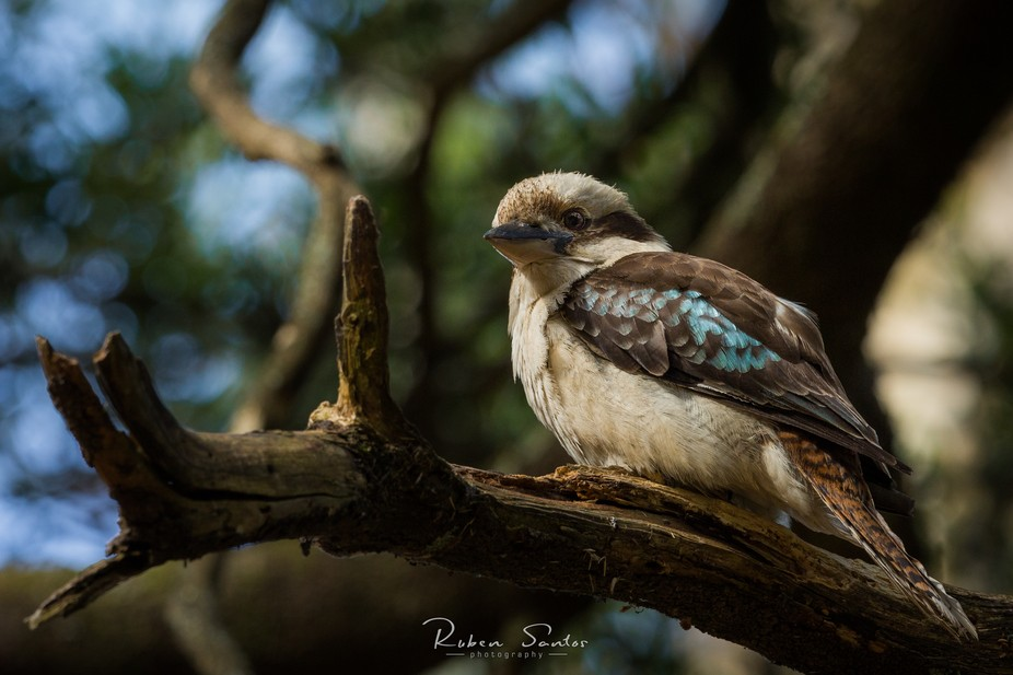 Laughing Kookaburra resting for a while at a tree brunch. Dandenong Ranges - Victoria