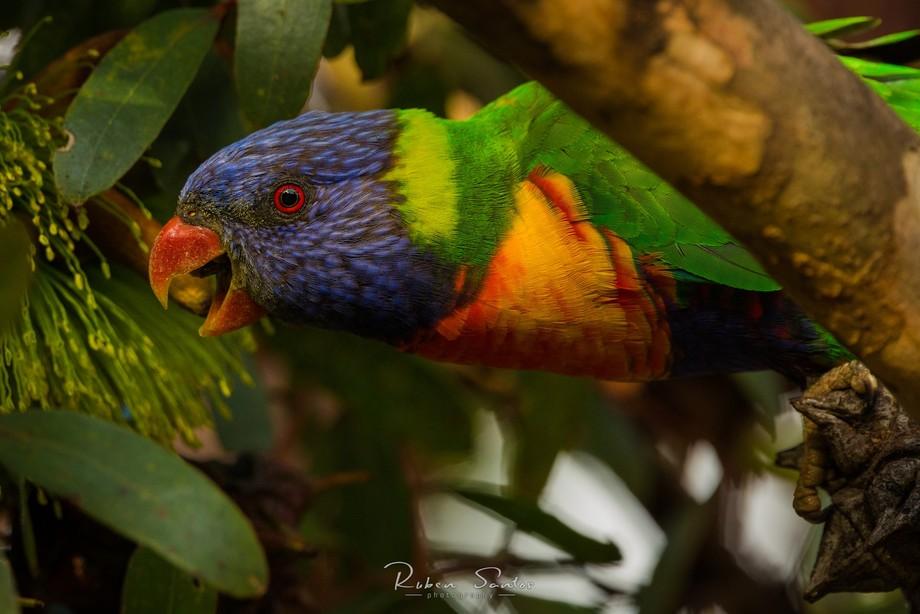 Rainbow Lorikeet eating nectar. Hastings - Victoria  Camera: Canon EOS 5D Mark III Aperture: f/8....