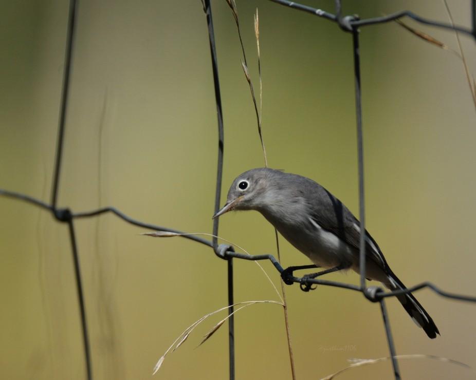 Blue-gray gnatcher portrait