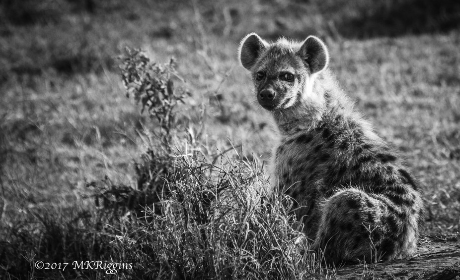 "a young hyena cub looks like ""Yea, So What?""  Incredible animals"