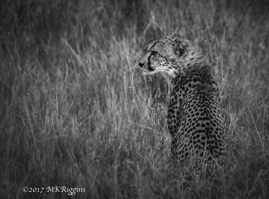 A cheetah in the tall grass of the Masai Mara