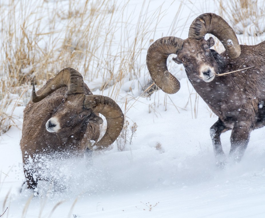 Although it is not the rut, these rams were very frisky and kept challenging each other over a pe...
