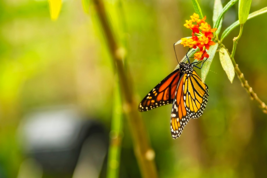 Some people consider the monarch the most beautiful of all butterflies, and are considered the �...