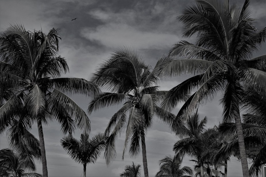 Palms in the Breeze