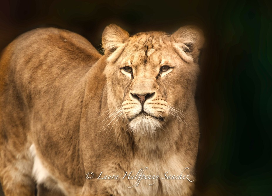 Lioness is drawn to something.