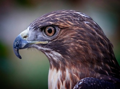 Red-tailed Hawk profile portrait