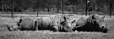 Rhinos at rest