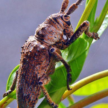 Acacia Longicorn Beetle (SE Queensland, Australia)