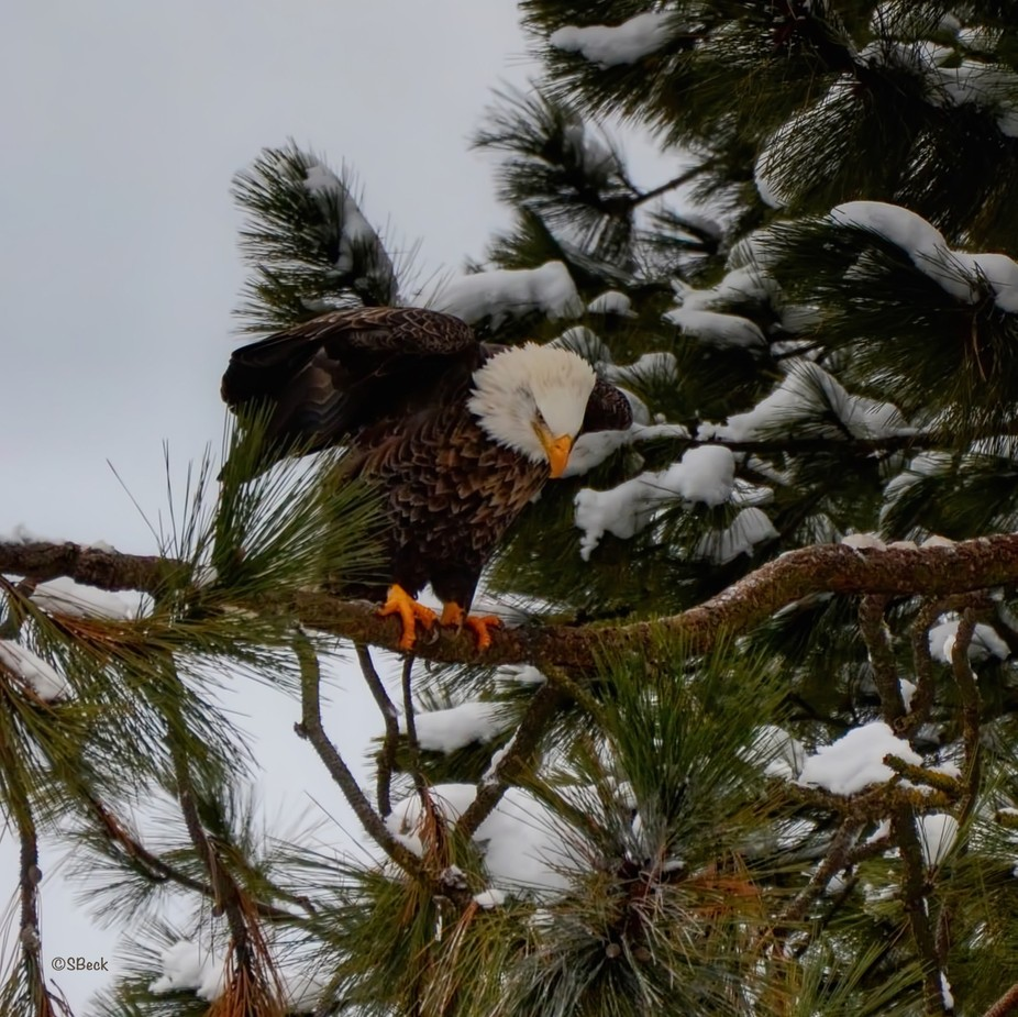 Bald eagle during the Kokanee run at the mouth of the Coeur d'Alene River, Coeur d&#...