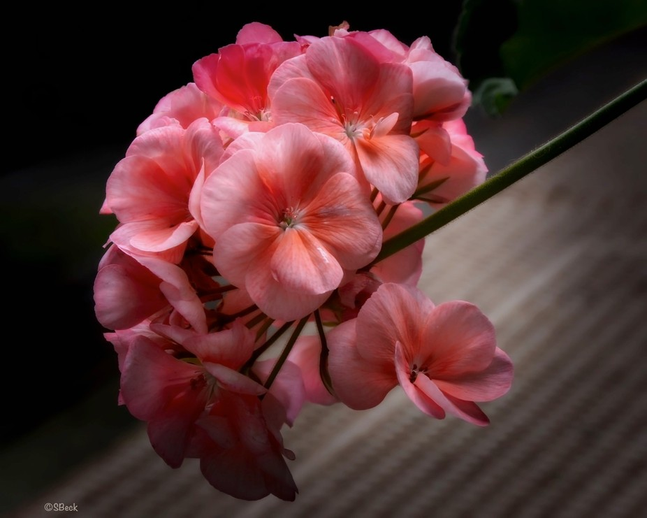 Geranium blossom caught between darkness and light...