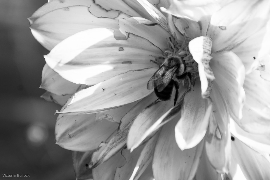 I liked how the morning light was hitting the dahlia and was able to catch a busy bee in the proc...