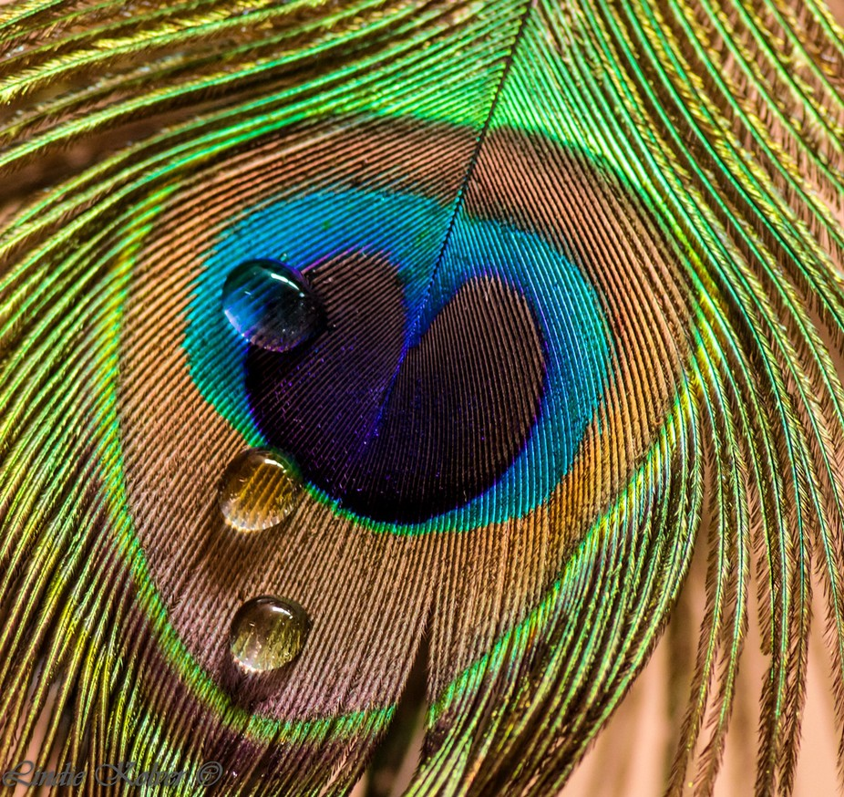 Peacock Feather with drops