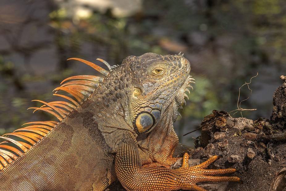 Iguanas are the largest lizards in America. Iguana has strong jaws with sharp teeth. They have ve...