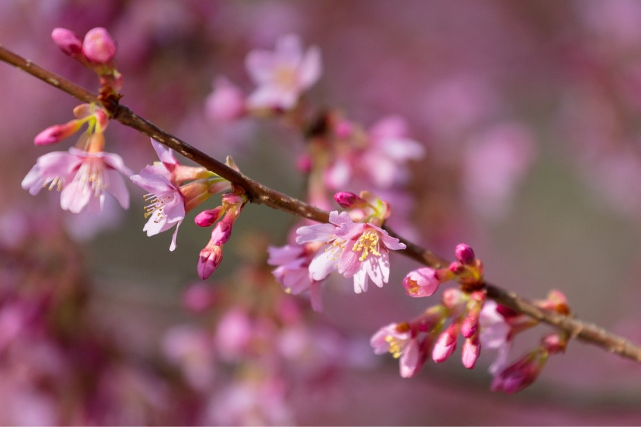 First cherry blossoms of spring