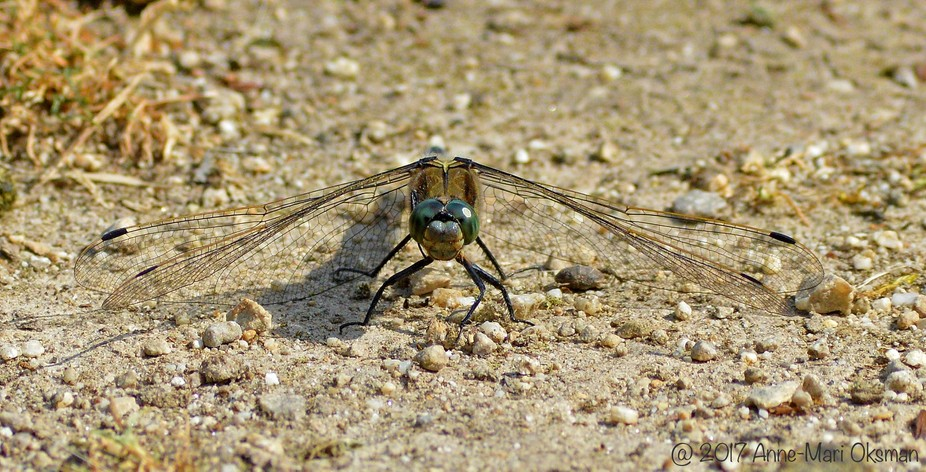 The transparent wings of dragonfly