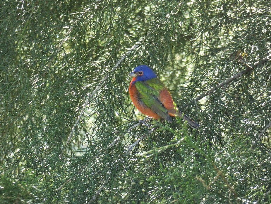 Lucky enough to see this beautiful bird in my backyard migrating to the South.  Brooksville, Florida