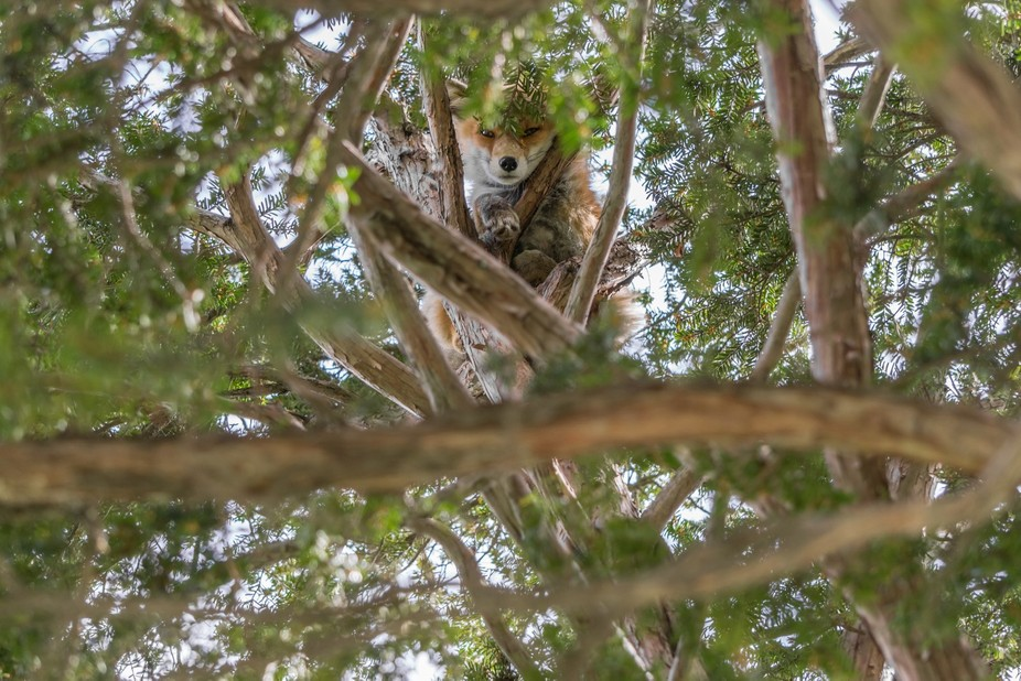 A sneaky fox hiding up in a tree.