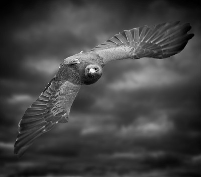 Harris Hawk in flight in black & white