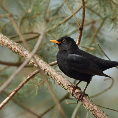 Common blackbird - male (Turdus merula)
