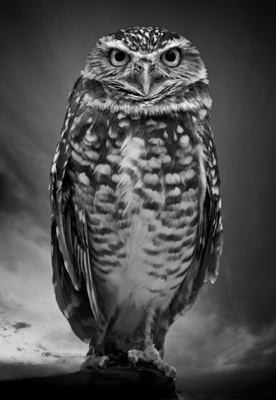 Burrowing Owl in B&W