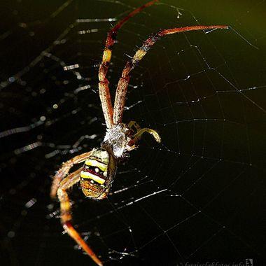 Four legged spider (s)