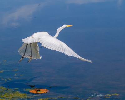 Egret Over Lily Pad
