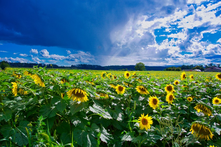 Sunflowers in a Storm