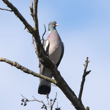 Common wood pigeon (Columba palumbus)