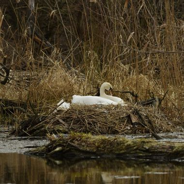 Mute swan. female at nest (Cygnus olor)