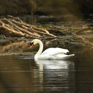 Mute swan. male (Cygnus olor)