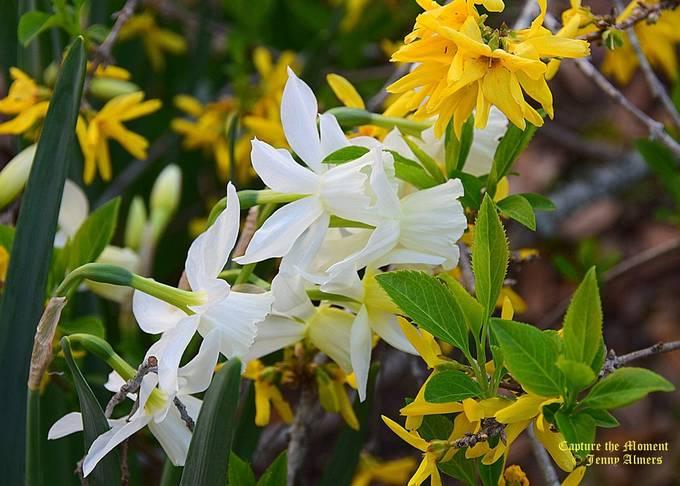 Daffodils and Forsythia