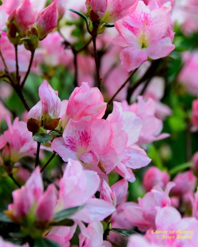 Bonzai Azalea Blooms