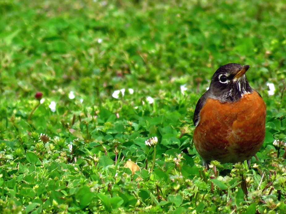 THIS LITTLE ROBIN LOVED LOOKING AROUND. FLOWER PETALS HAD BLOWN OFF OUR TREES RECENTLY.