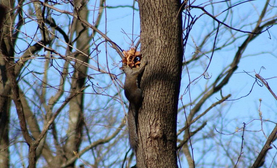 This squirrel made dozens of trips up and down the tree building the nest. Carried a lot of leave...