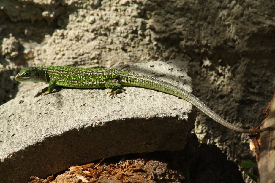 A beautiful lizard in the garden! His green colors are amazing!