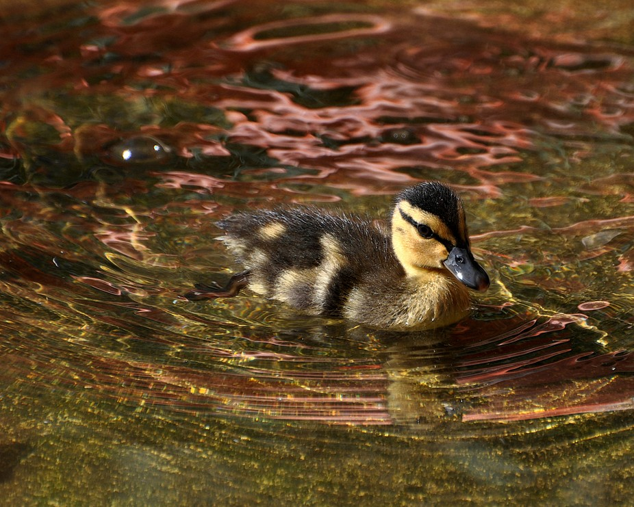 Project 52,Week 18:  Mallard Duckling navigates the colorful waters at the Albuquerque Zoo (circa...