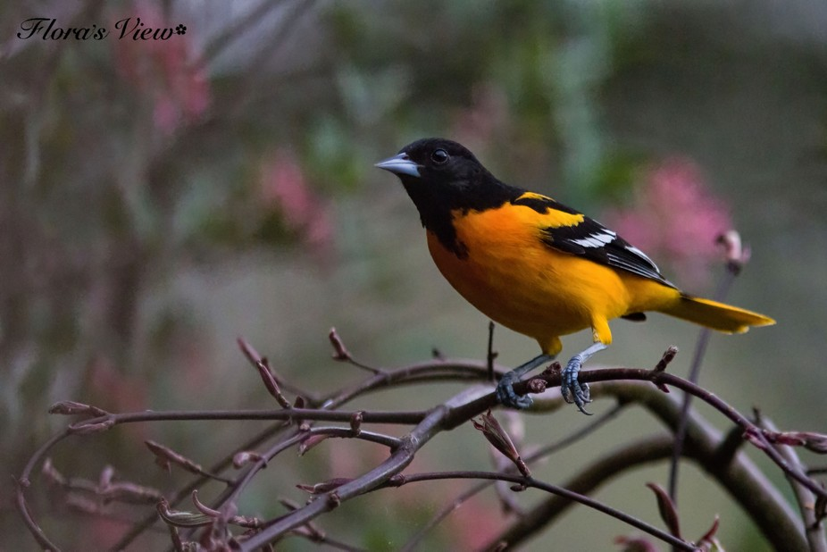 Baltimore Oriole_1431N