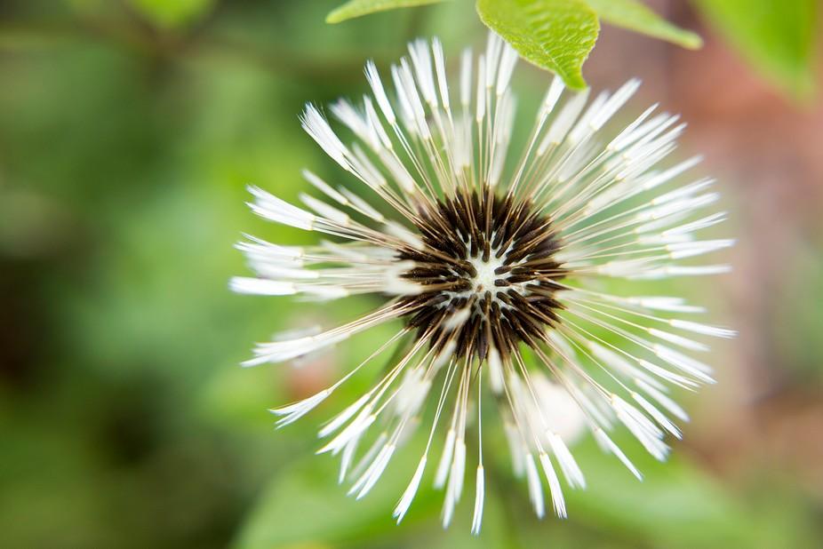dandelion-looking-down
