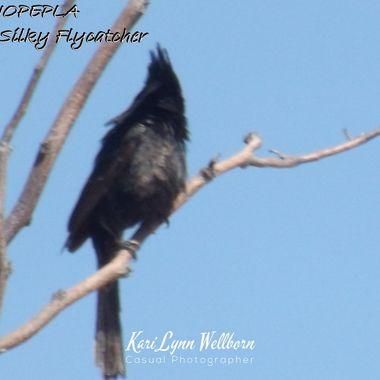Black Silky Flycatcher