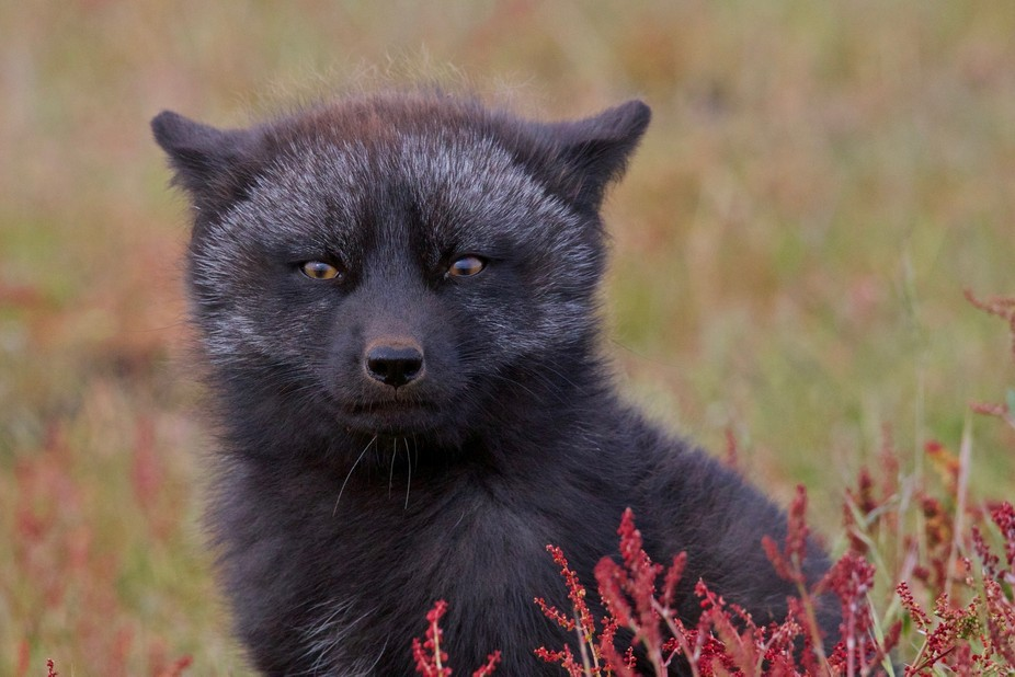 Black Phase Fox Kit