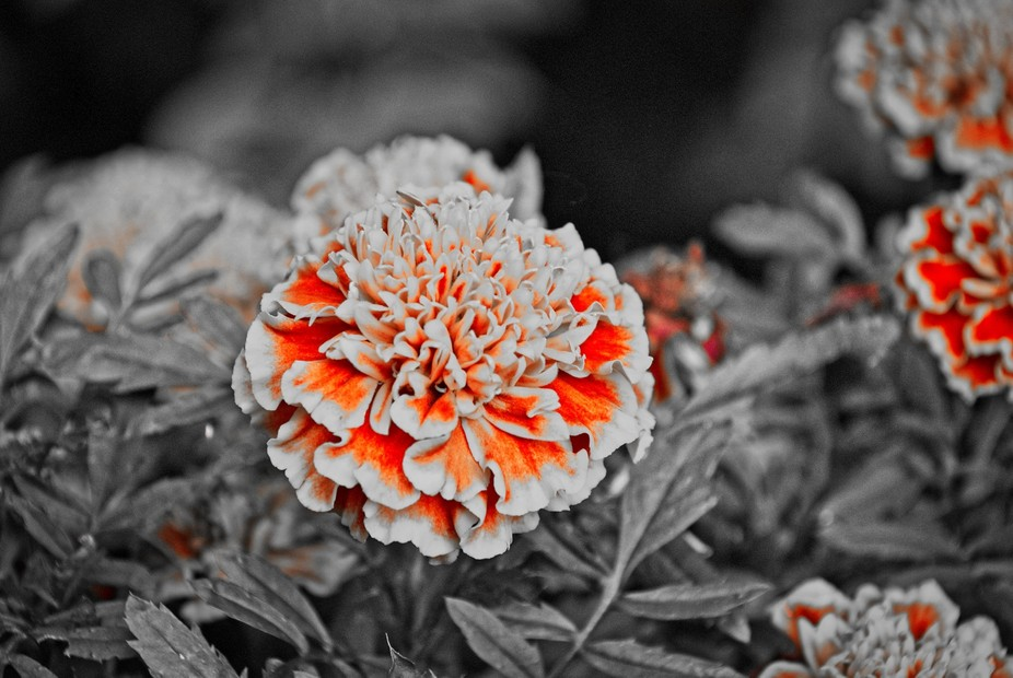 DSC_0005_Marigold_RED_WHITE