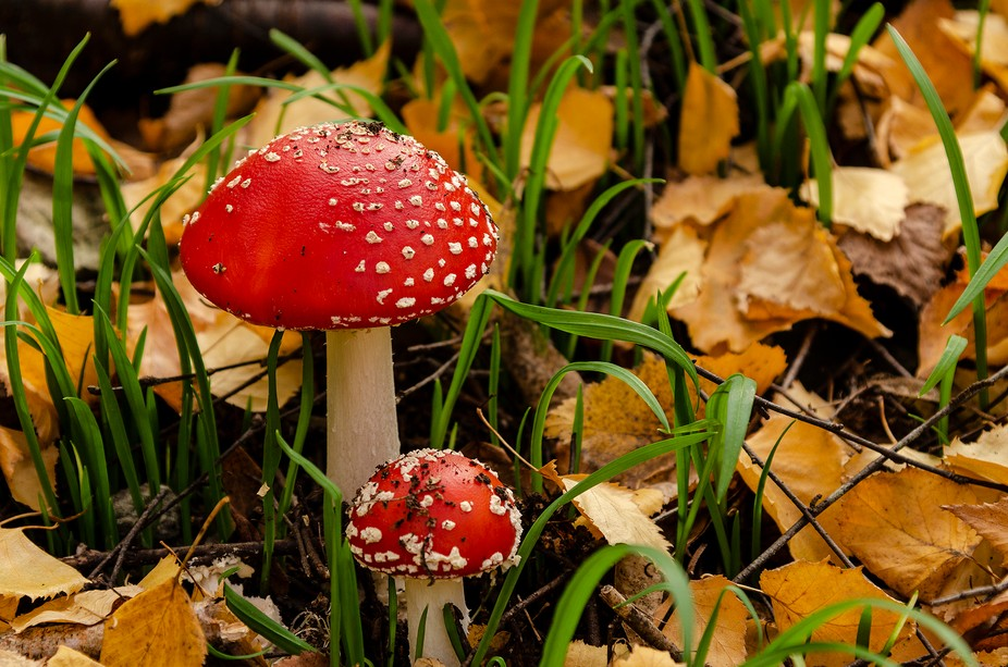 Try walking in the Mt Lofty gardens for these colourful wonders! Not to be eaten though!